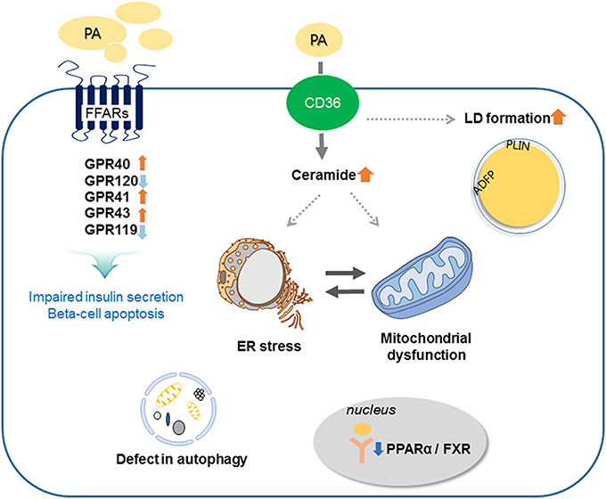 Frontiers Fatty Acid Induced Lipotoxicity In Pancreatic Beta Cells
