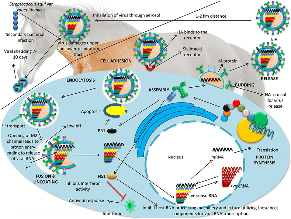 Frontiers | A Comprehensive Review on Equine Influenza Virus