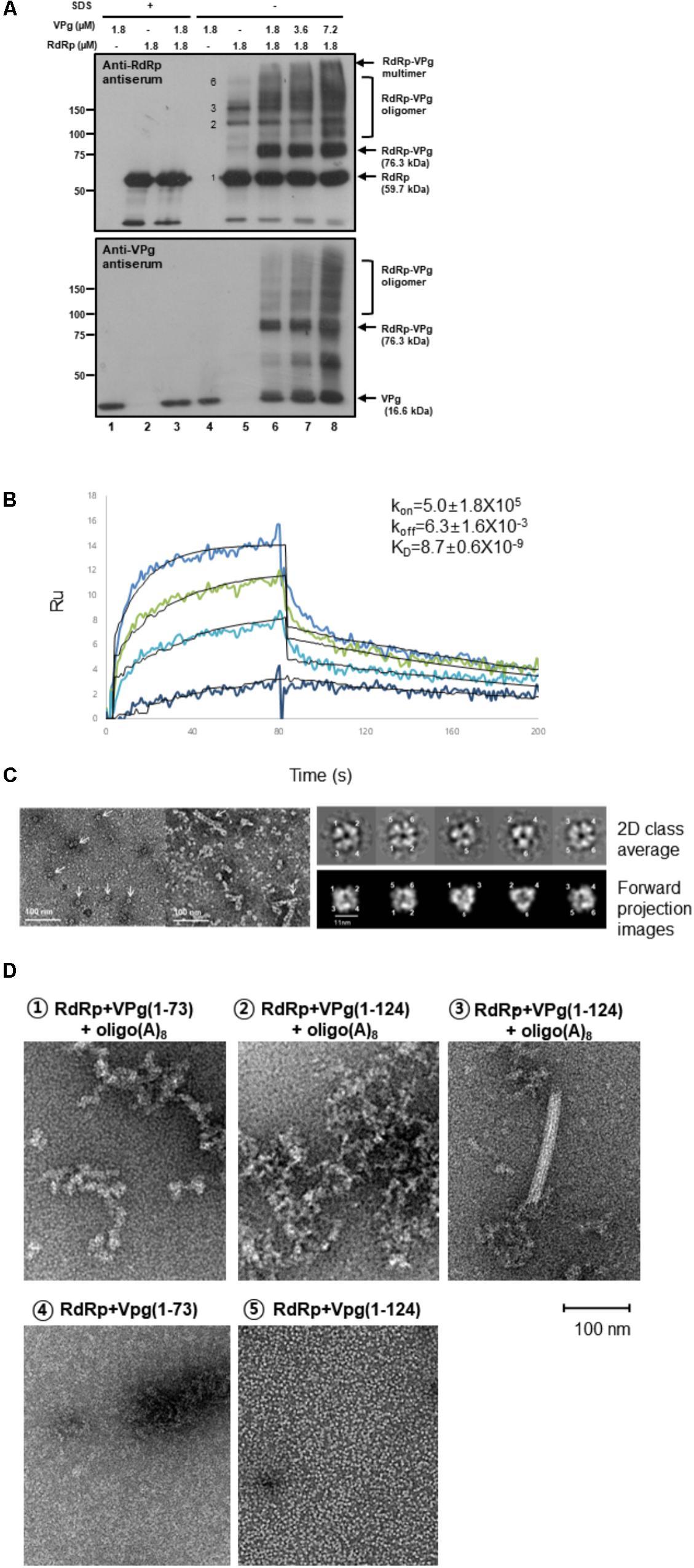 viruses norovirus replication