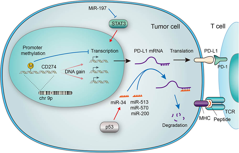 Frontiers | Regulation of PD-L1: Emerging Routes for Targeting Tumor