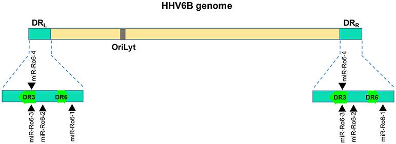 Frontiers   Herpesviruses and MicroRNAs: New Pathogenesis