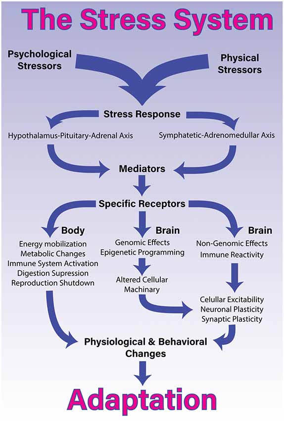 Social Stress Brain Circuitry Fails To >> Frontiers A Comprehensive Overview On Stress Neurobiology Basic