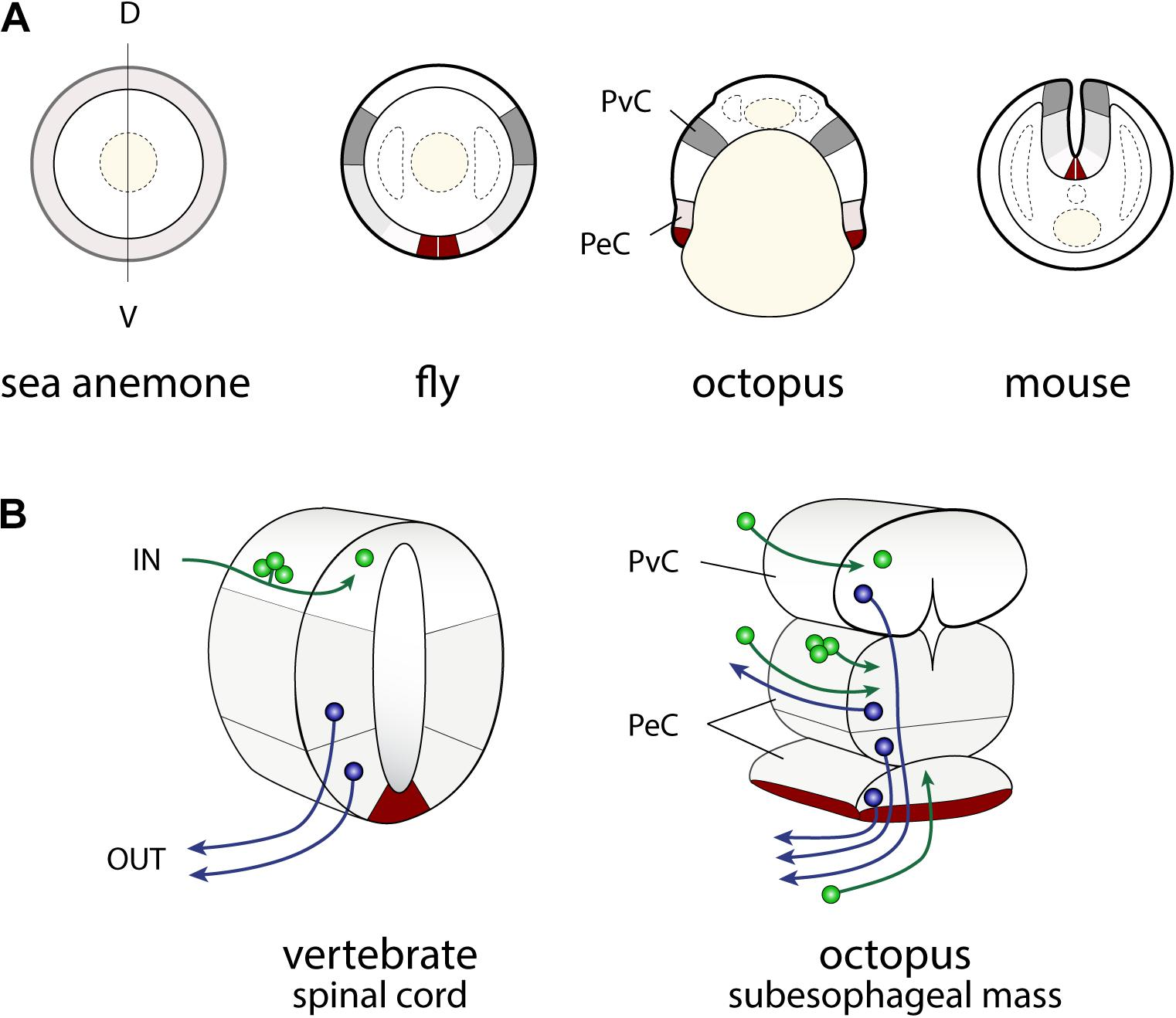 Frontiers | Cephalopod Brains: An Overview of Current Knowledge to ...