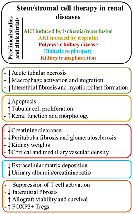 Frontiers Stem Stromal Cells For Treatment Of Kidney Injuries With Focus On Preclinical Models Medicine