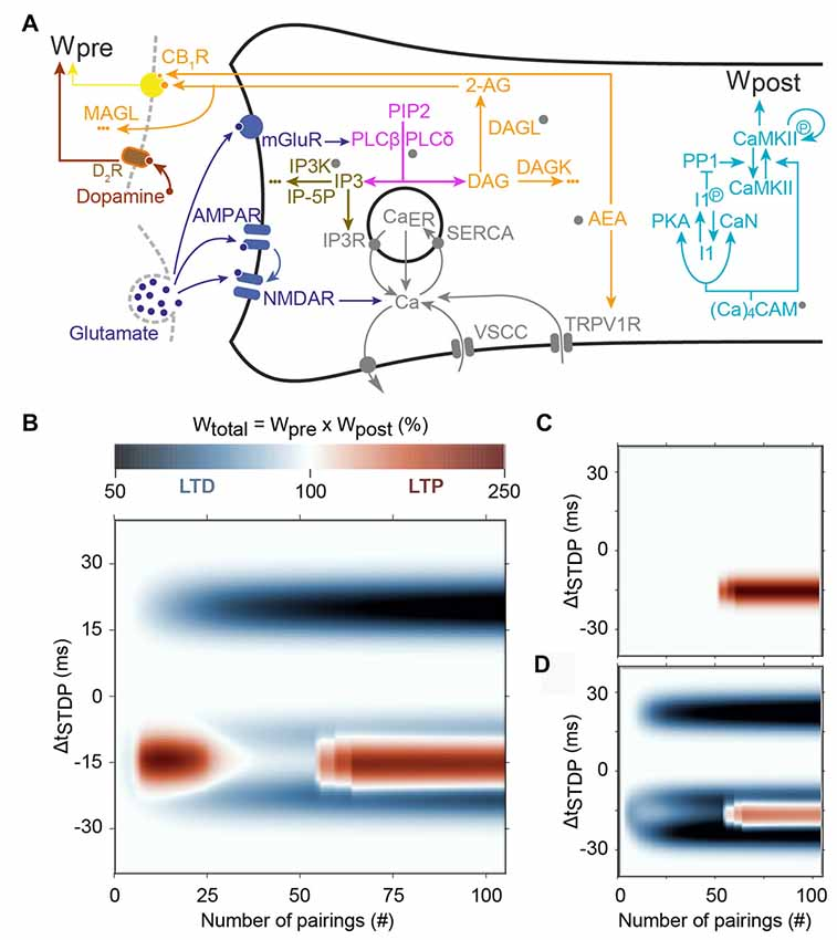 Frontiers | Modulation of Spike-Timing Dependent Plasticity: Towards