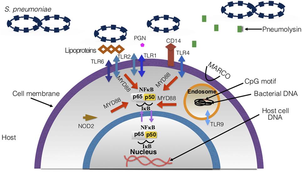 Frontiers Streptococcus Pneumoniaes Virulence And Host Immunity