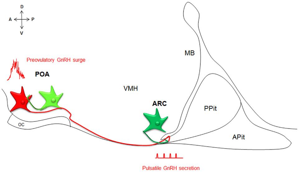 Kisspeptin Gnrh Neurons: Development And Aging Of The Kisspeptin–GPR54