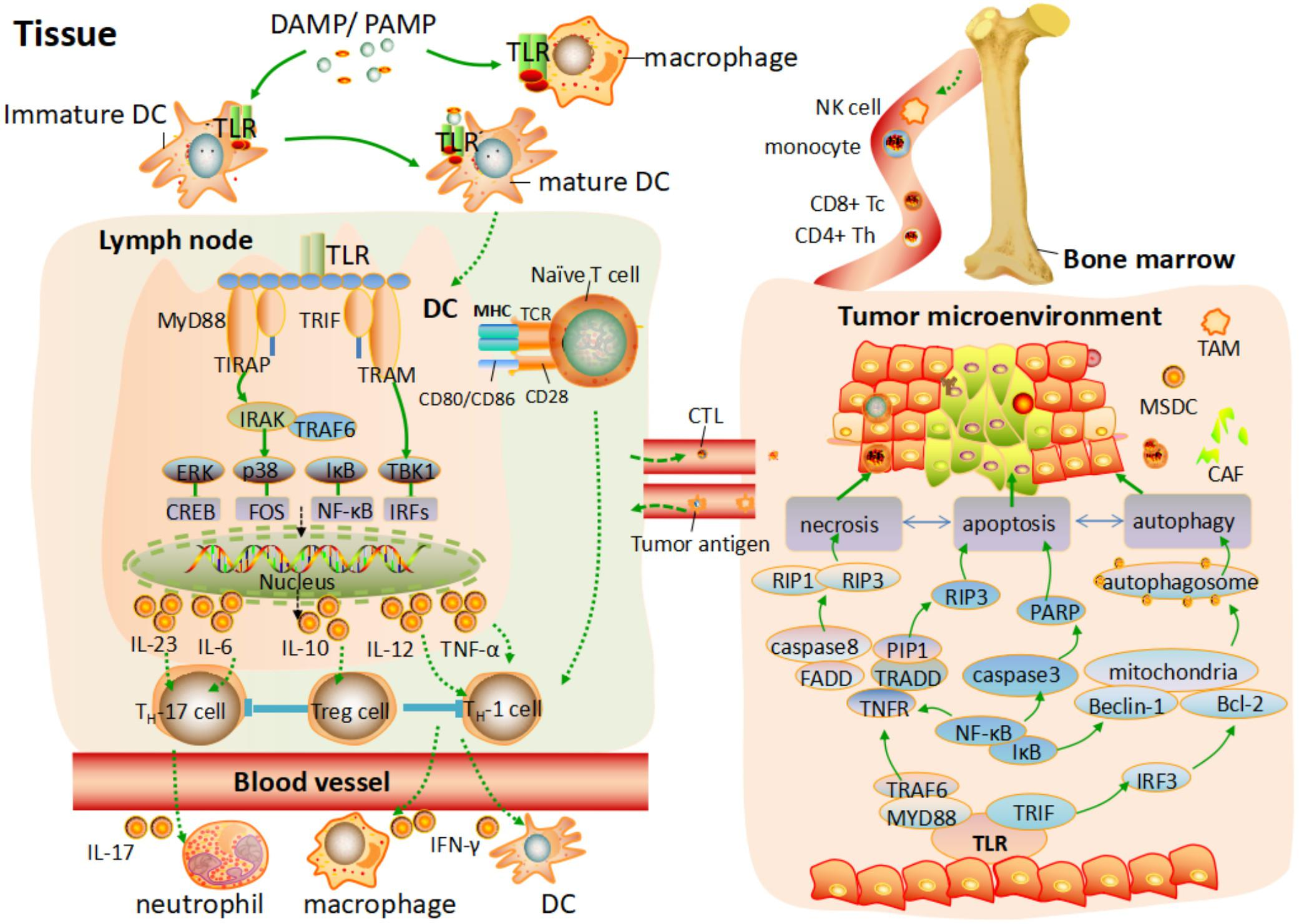 Frontiers | The Role of Toll-Like Receptor in Inflammation