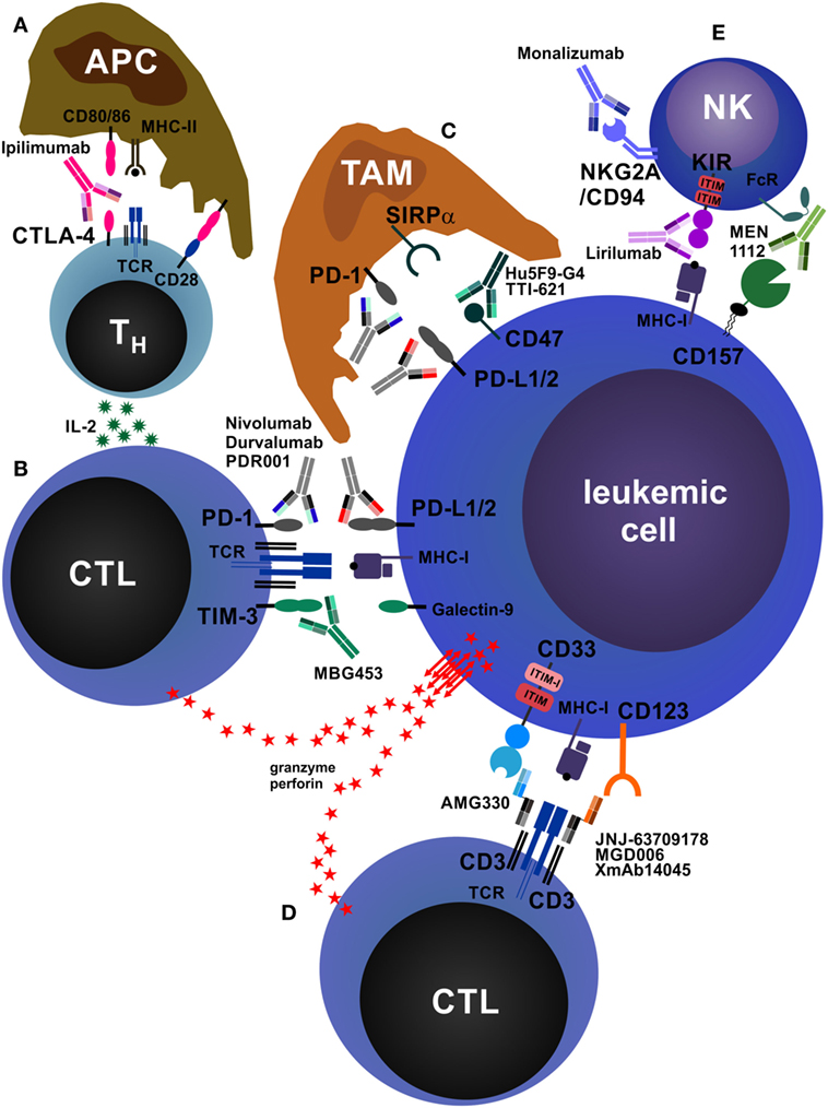 Frontiers | Therapeutic Antibodies for Myeloid Neoplasms—Current