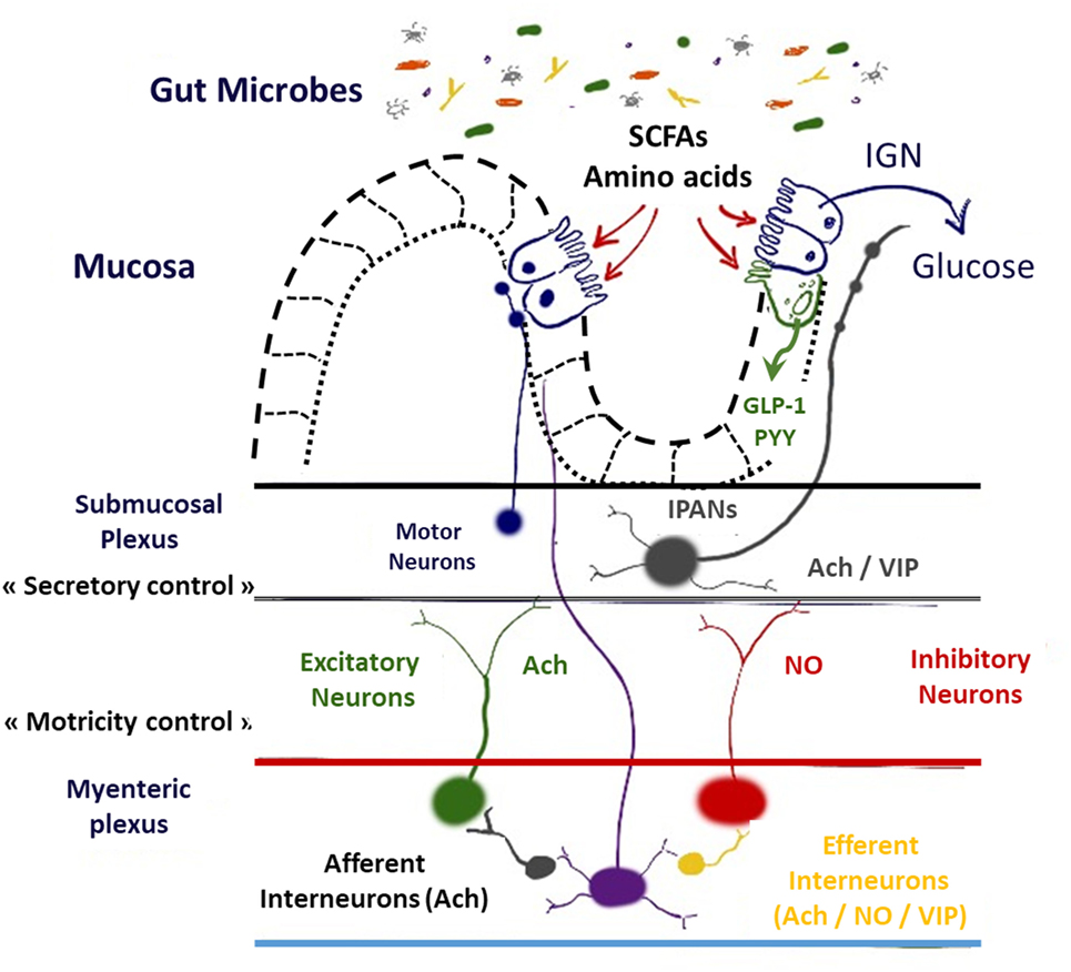 Frontiers Impact Of Intestinal Peptides On The Enteric Nervous
