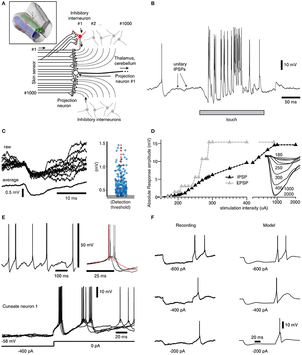 Frontiers Intracellular Dynamics In Cuneate Nucleus Neurons Silicon Bilateral Switch