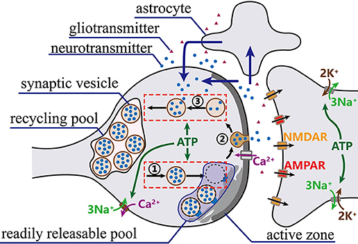 Frontiers | Effects of Metabolic Energy on Synaptic Transmission and