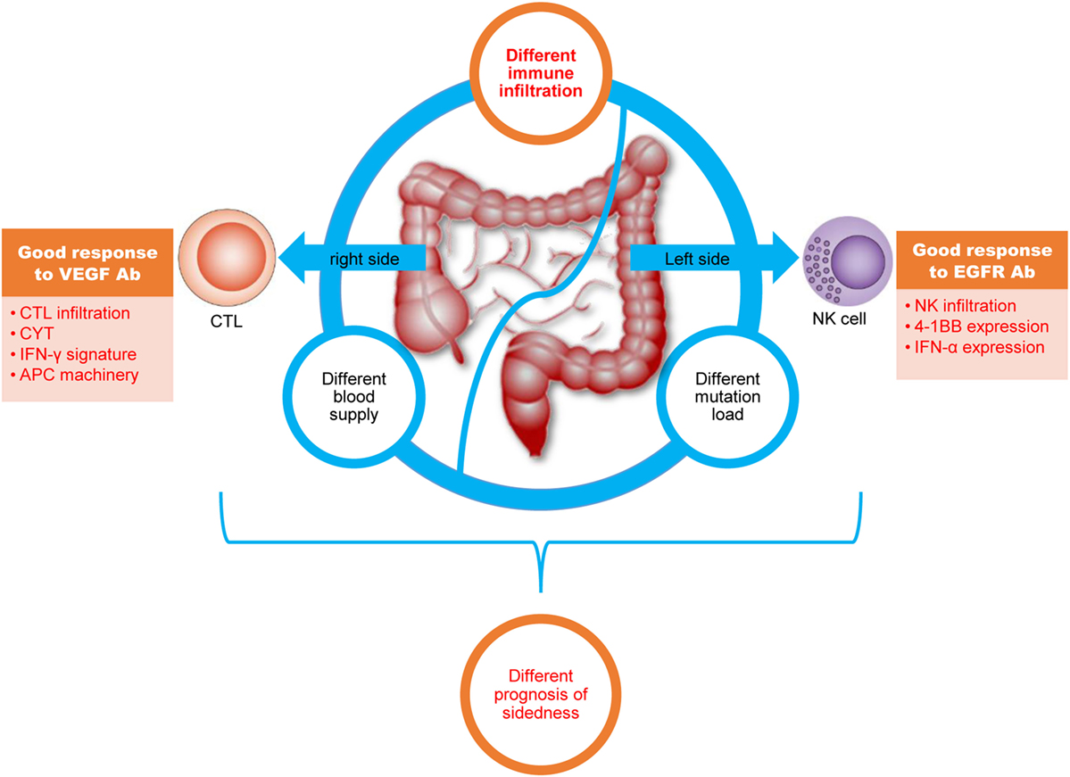 Frontiers Immune Landscape Of Colorectal Cancer Tumor Microenvironment From Different Primary Tumor Location Immunology