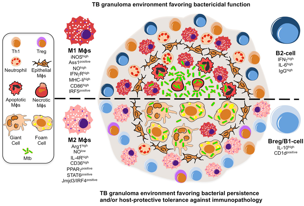 Frontiers Emerging Trends In The Formation And Function Of