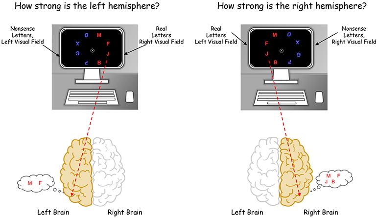 איור 3 - משימה ממוחשבת להשוואה בין מחציות המוח אנחנו יודעים שכאשר אנחנו מסתכלים על עצמים מצד שמאל שלנו, יש פעילות רבה במחצית הימנית של המוח, ולהיפך.