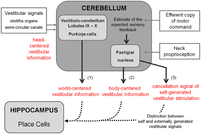 frontiers | the cerebellum: a new key structure in the navigation, Sphenoid