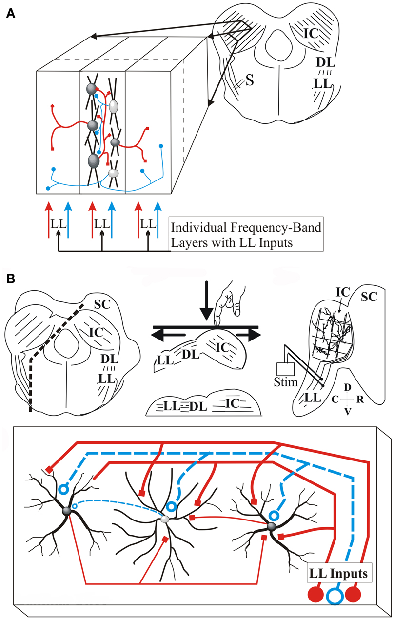Frontiers | Functional Architecture of the Inferior Colliculus ...