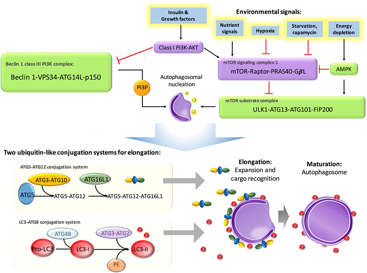 Frontiers | The Therapeutic and Pathogenic Role of Autophagy