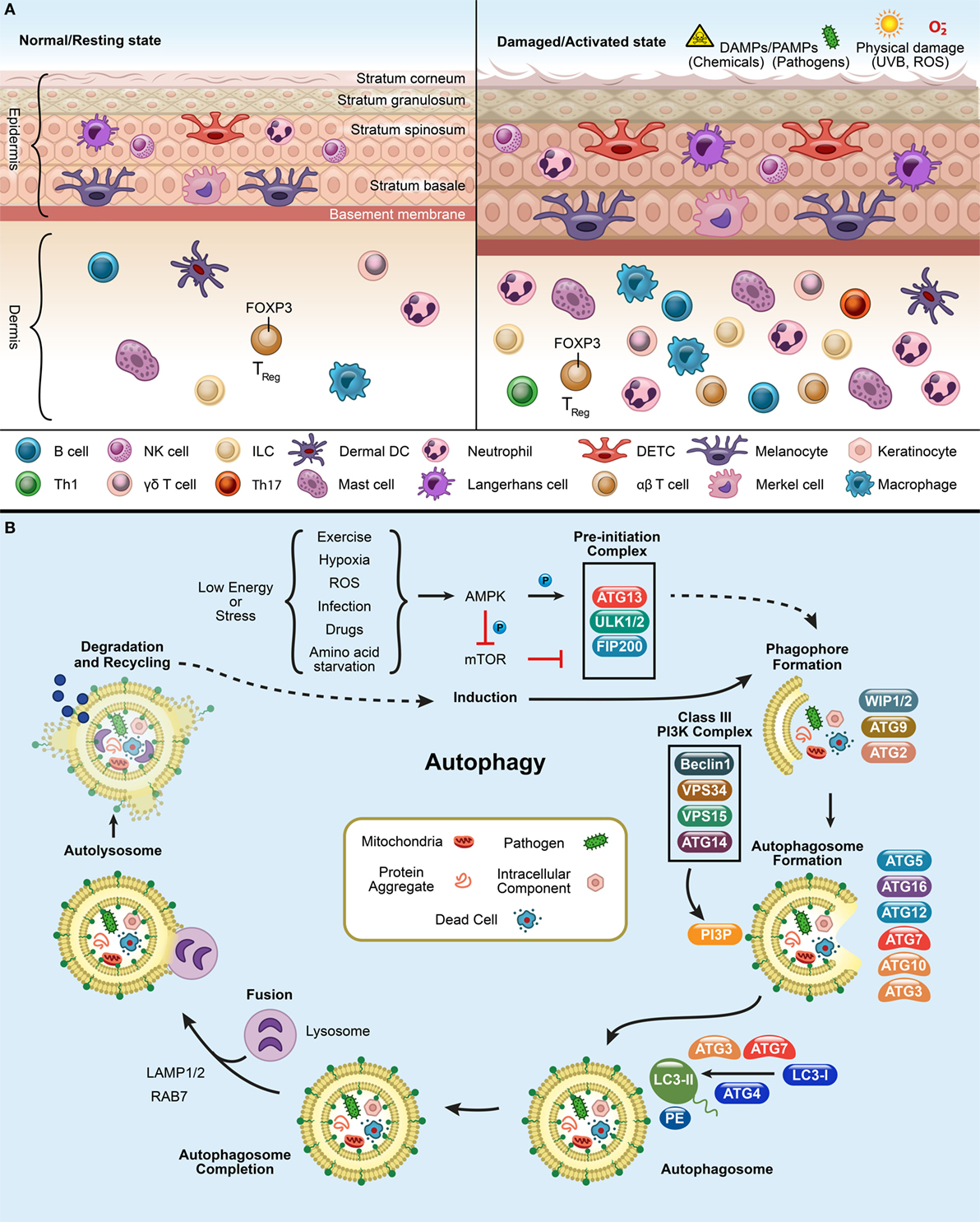 Frontiers | More Than Skin Deep: Autophagy Is Vital for Skin