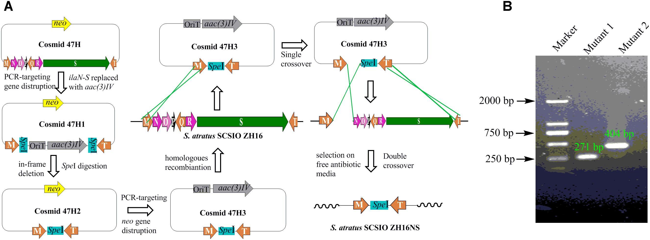 Frontiers | Genome Sequencing of Streptomyces atratus