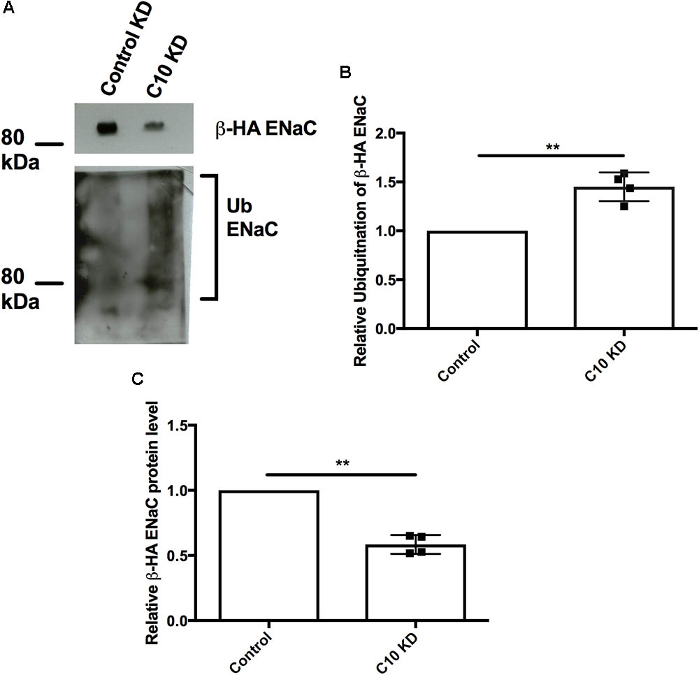 Frontiers Epithelial Na Channel Reciprocal Control By Commd10 For Accessibility Find The Equivalent Resistance Rab In Circuit