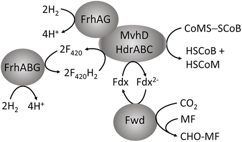 Frontiers | Electron Bifurcation and Confurcation in Methanogenesis