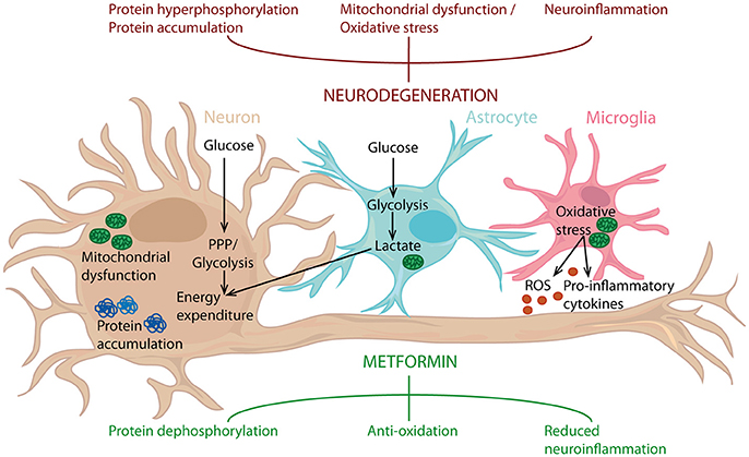 Frontiers   The Therapeutic Potential of Metformin in