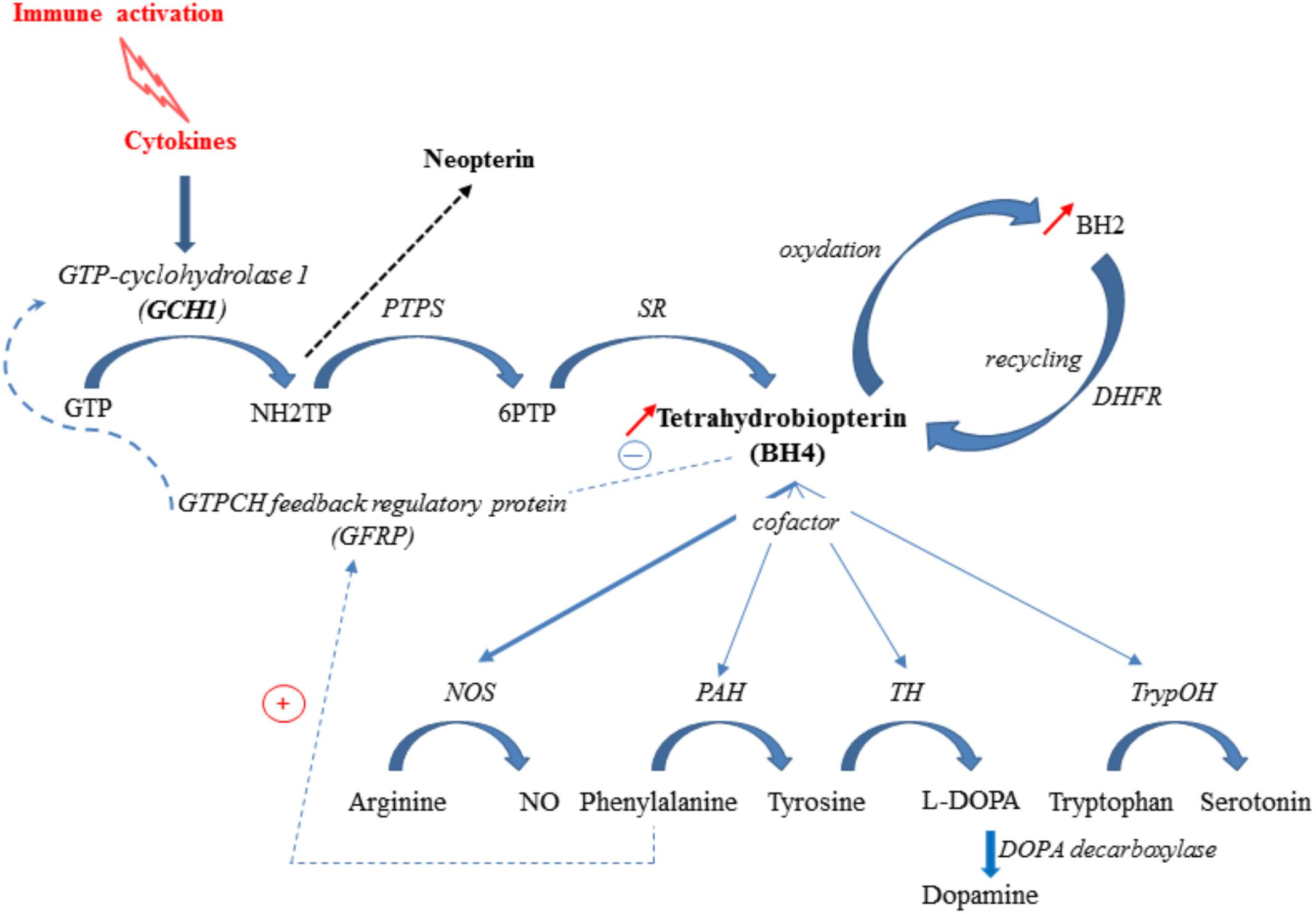 Frontiers | Brain Kynurenine and BH4 Pathways: Relevance to the