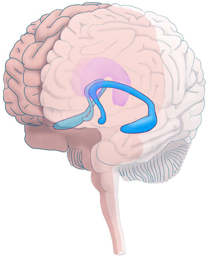 Figure 1 - Location of the hippocampus in the brain.