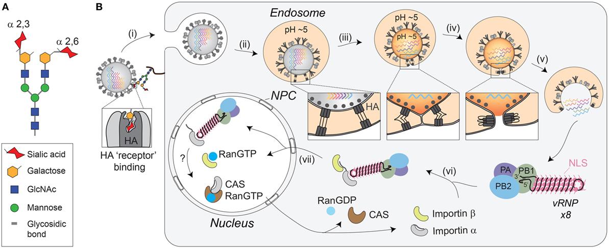 receptor-mediated-direct-penetration-virus-breeding-wives-erotic