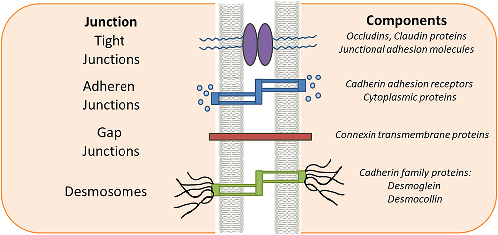 utdelning döda Mycket liten  Frontiers | Tight Junction Proteins and Signaling Pathways in Cancer and  Inflammation: A Functional Crosstalk | Physiology
