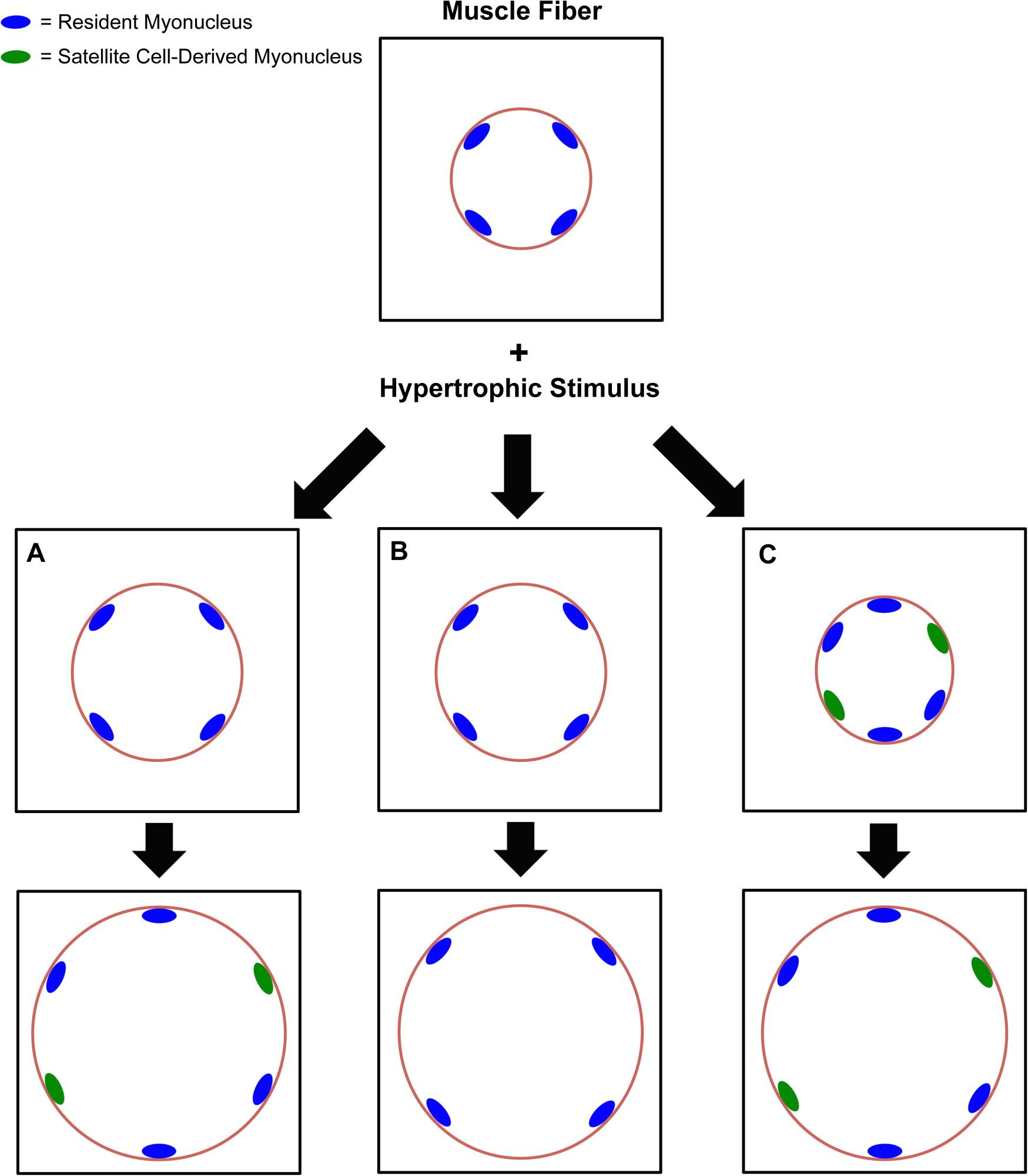 fphys 09 00635 g001 frontiers myonuclear domain flexibility challenges rigid