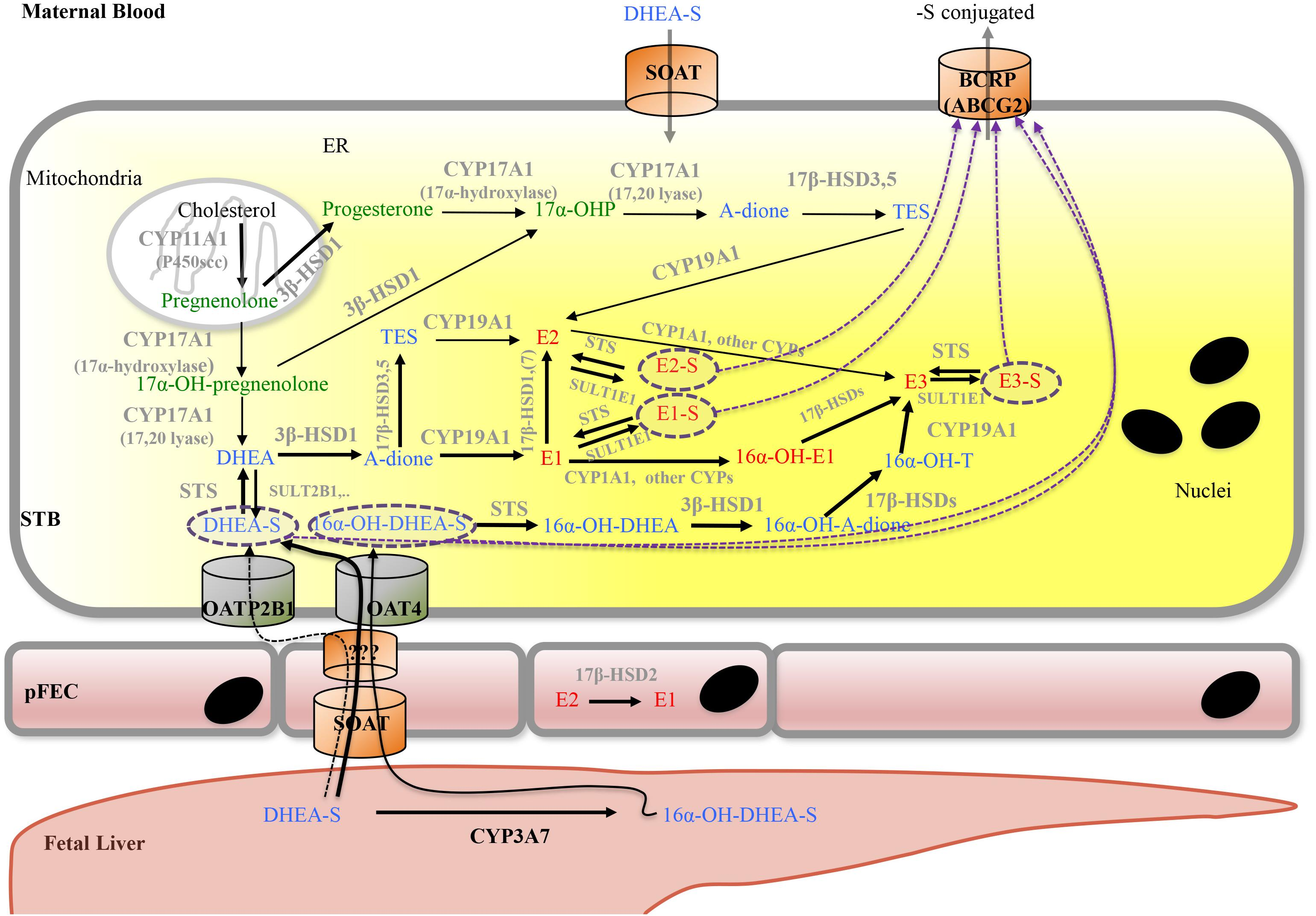 Frontiers Physiology And Pathophysiology Of Steroid Biosynthesis Data Sync Engineering Schematics