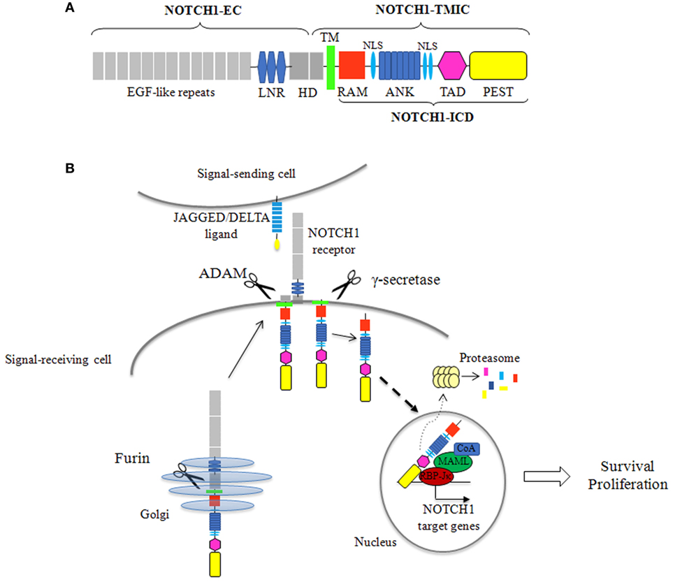 Frontiers | NOTCH1 Aberrations in Chronic Lymphocytic ...
