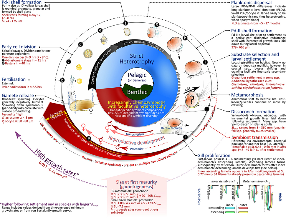 Frontiers Lifecycle Ecology Of Deep Sea Chemosymbiotic Mussels A