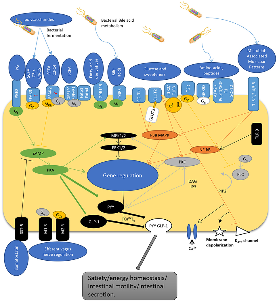 Frontiers | Intestinal Sensing by Gut Microbiota: Targeting Gut