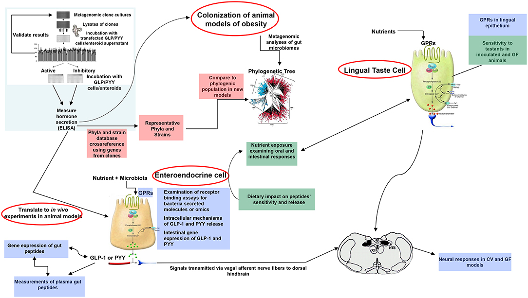 Frontiers | Intestinal Sensing by Gut Microbiota: Targeting