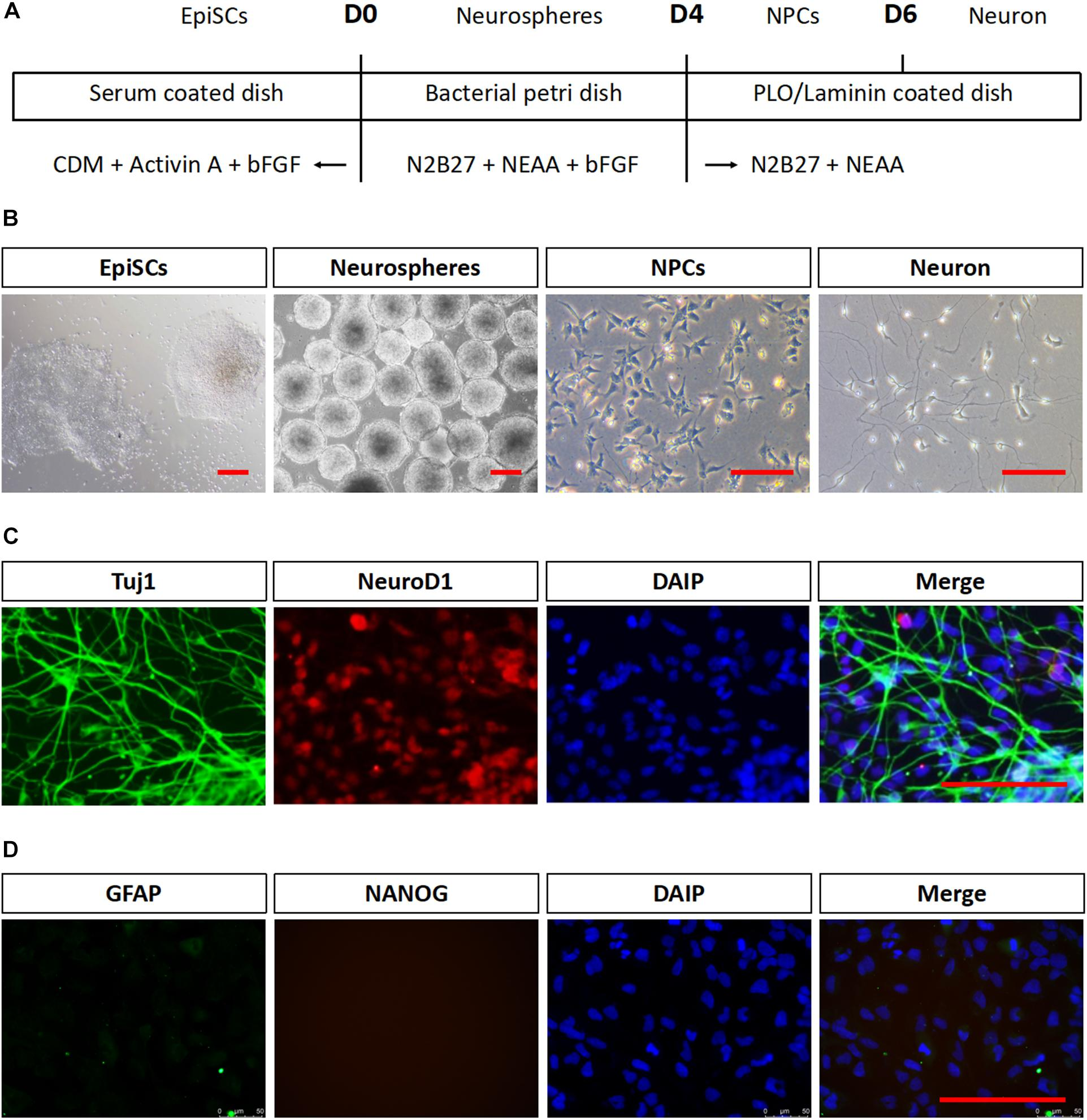Frontiers | Comparison of in vitro Neuronal Differentiation Capacity