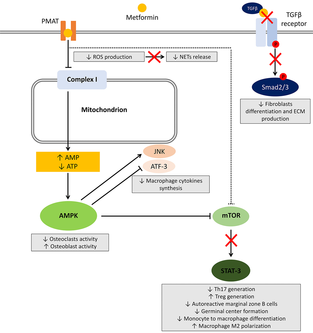 Frontiers Metformin And Autoimmunity A New Deal Of An Old Drug