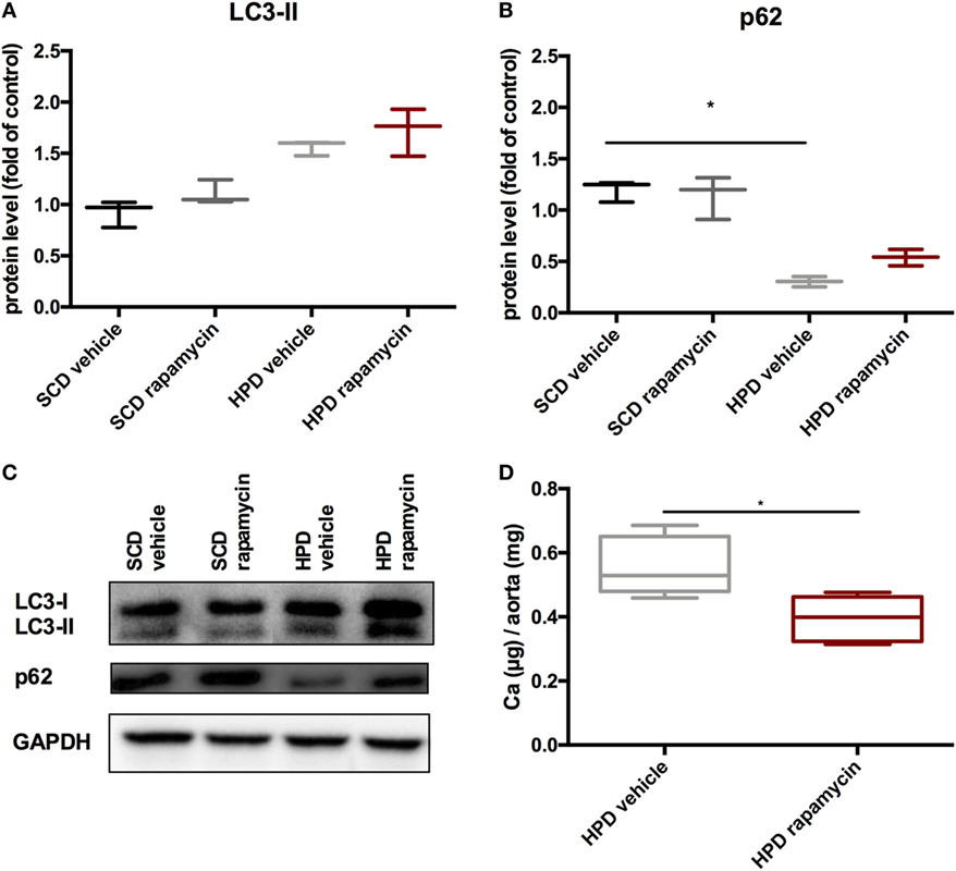 Frontiers | Autophagy Protects From Uremic Vascular Media