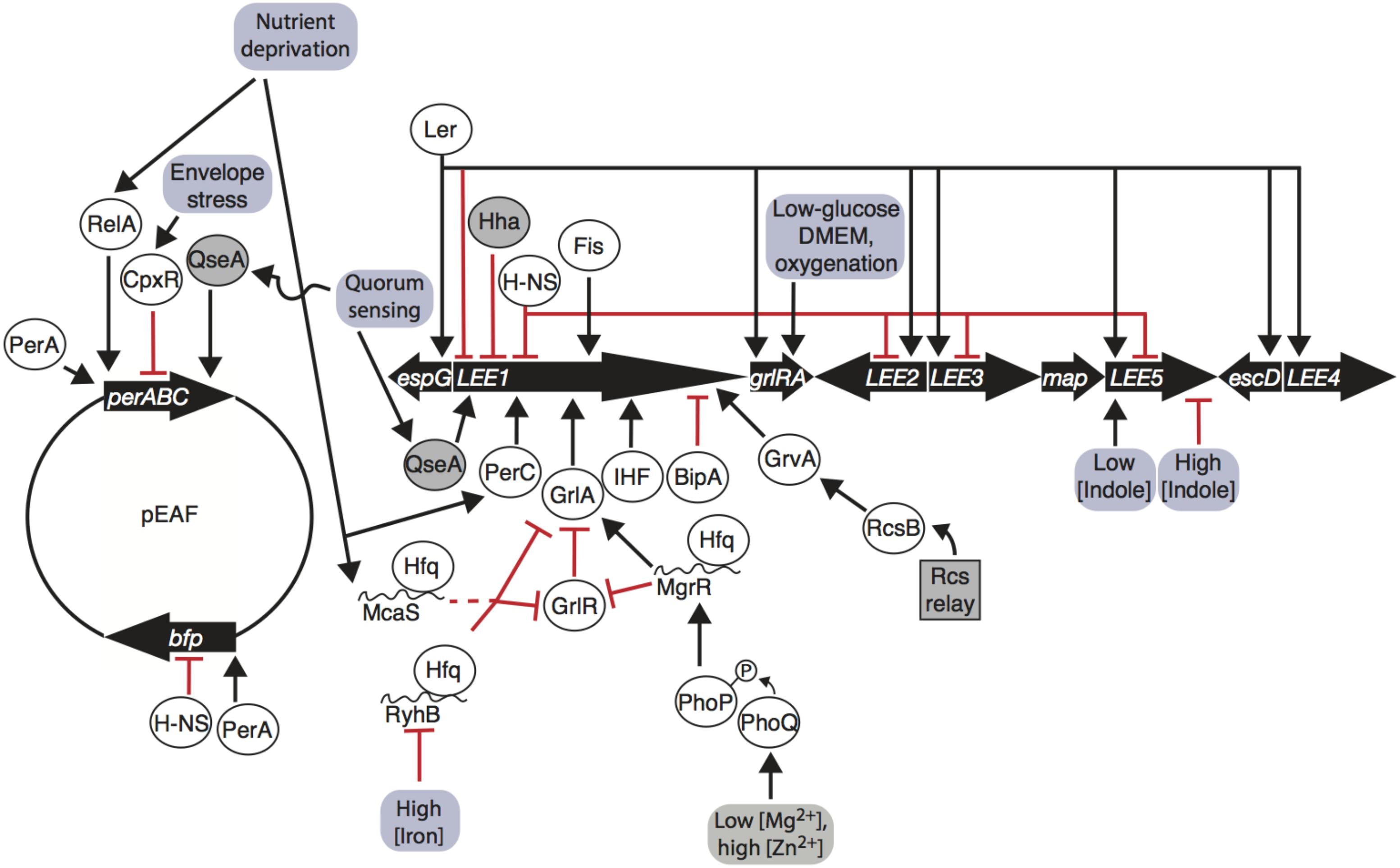 Frontiers | Environment Controls LEE Regulation in Enteropathogenic