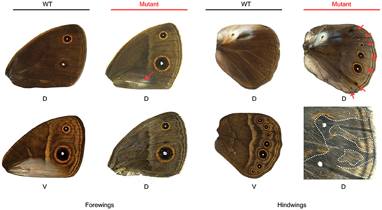 Figure 3 - The normal (wildtype/WT) dorsal and ventral wings of the butterfly Bicyclus anynana and the dorsal surfaces of mutants.