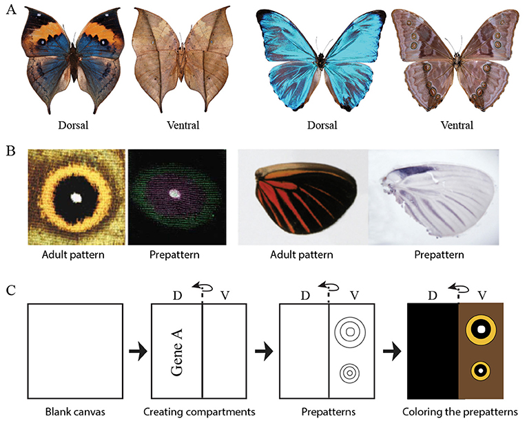 Figure 1 - (A) Two species of butterflies with different top/dorsal (left) and bottom/ventral (right) wing surface patterns.
