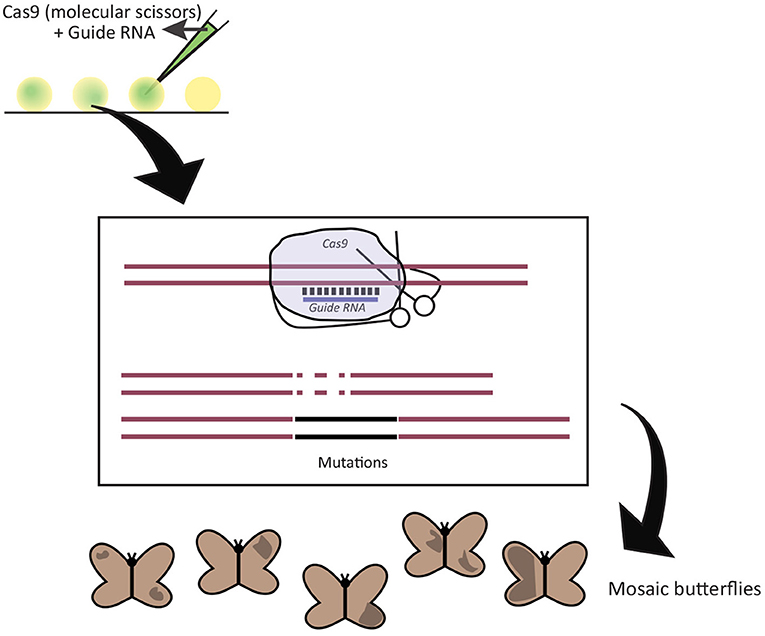 Figure 2 - Using the CRISPR-Cas9 technique in butterflies.