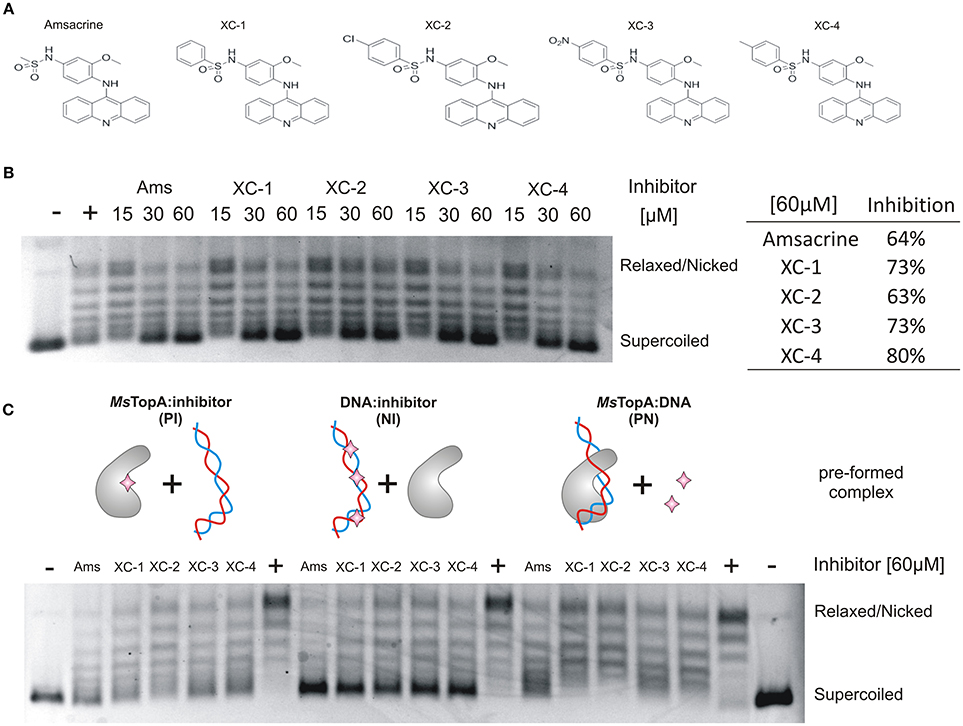 3055b4307d52 Frontiers   Amsacrine Derivatives Selectively Inhibit Mycobacterial ...