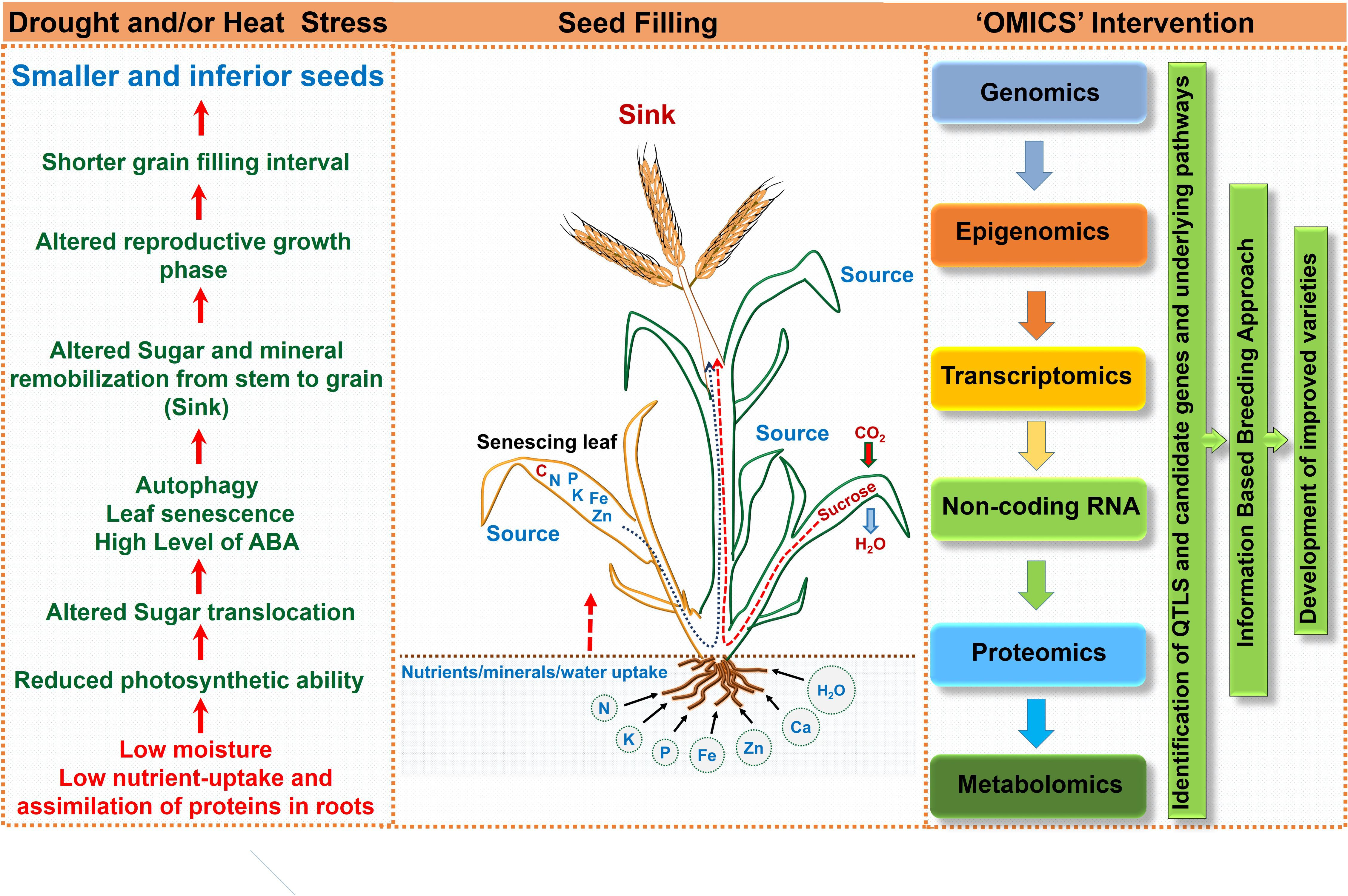 Frontiers | Drought or/and Heat-Stress Effects on Seed