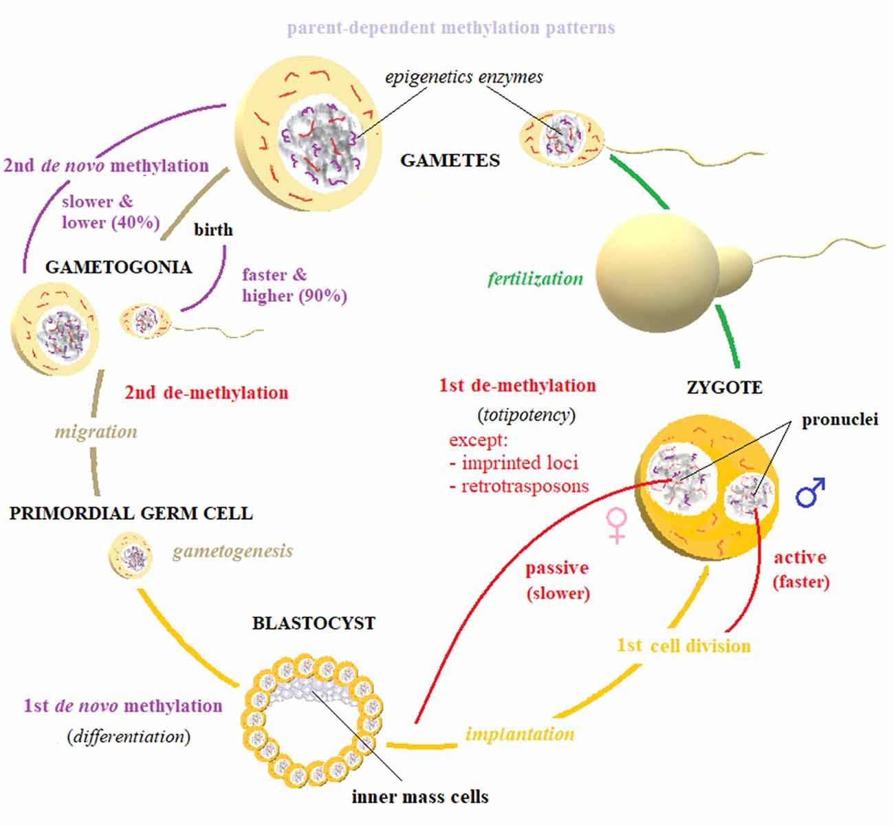 Frontiers   Epigenetic Inheritance: Concepts, Mechanisms and