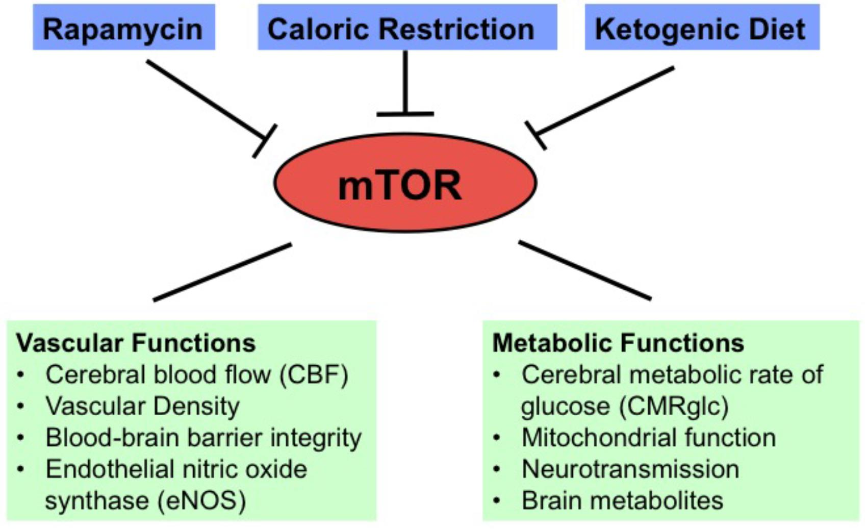 Frontiers | Neuroimaging Biomarkers of mTOR Inhibition on Vascular