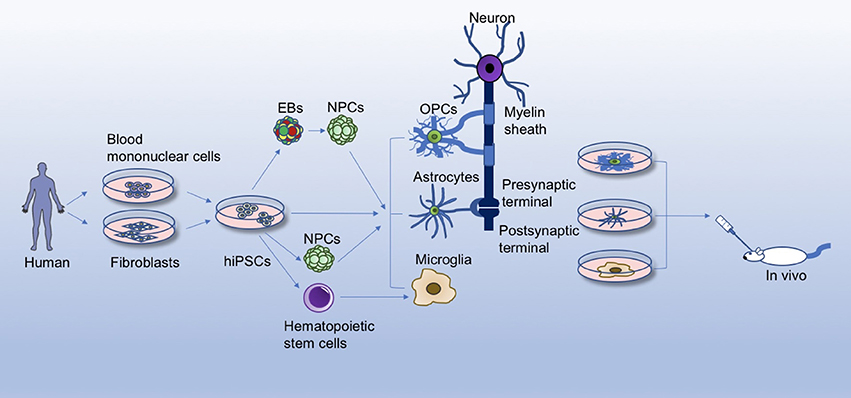 Frontiers Differentiation Of Glial Cells From Hipscs