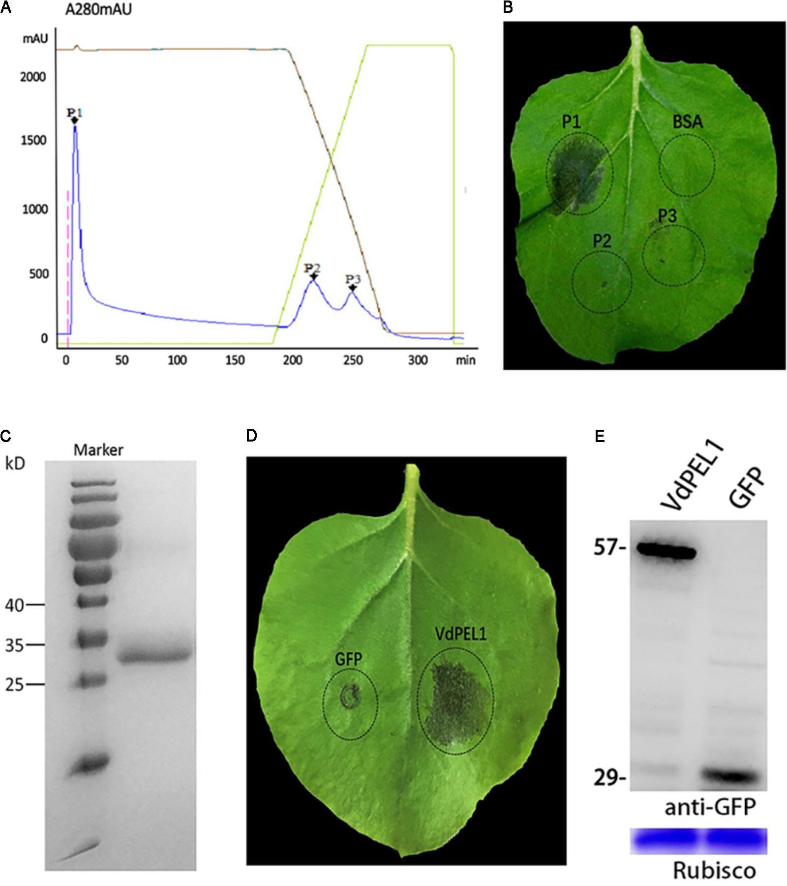 Frontiers A Verticillium Dahliae Pectate Lyase Induces Plant 2000 Rm 250 Engine Diagram